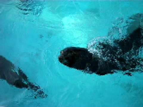 王子動物園 アシカのオヤツタイム 20090215