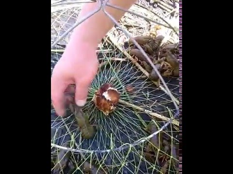 чеснок для ловли раков