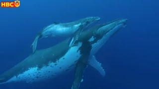 🔥Xuất Hiện Cá Voi Lưng Gù Hiếm Nhất Thế Giới