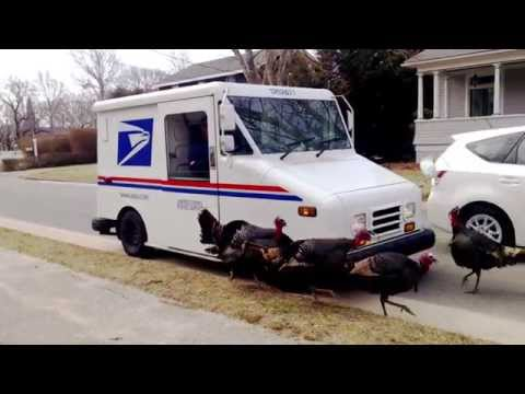 Cape Cod Turkeys and US Post