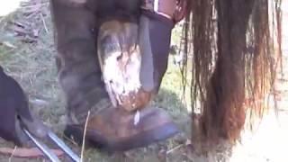 Pony long feet rehab trim