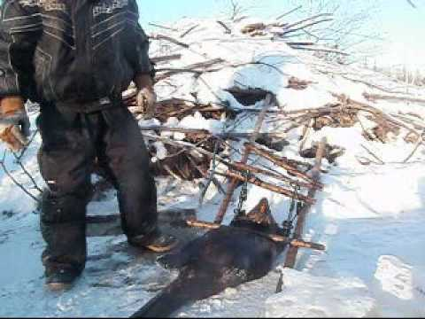 How To Trap A Beaver Under The Ice pt 2