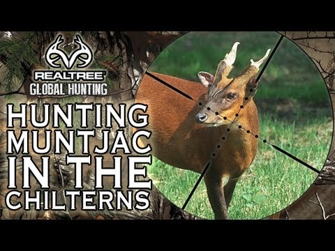 Hunting Muntjac in The Chilterns