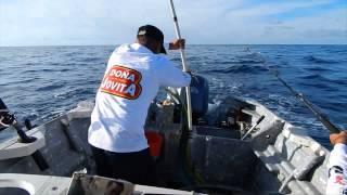 Vikingos xxx pescó un pez Dorado de 10 y 12 kilos