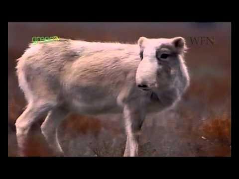 Safeguarding the Saiga Antelope - Uzbekistan