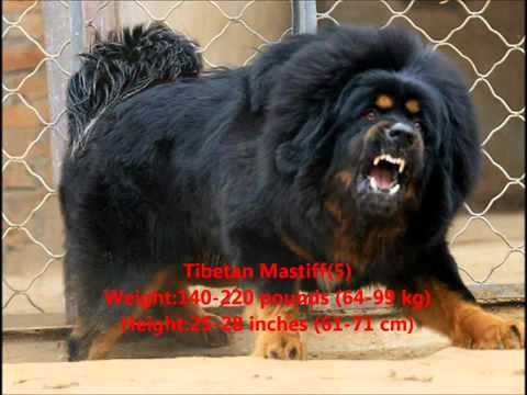 Top 10 Guard Dogs In The World - أفضل أنواع كلاب الحراسة في العالم 2012 by wili Music Videos