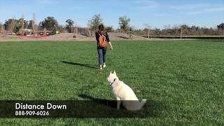 "Siberian Husky ""Baley"" l Amazing Transformation l Bay Area Dog Training"