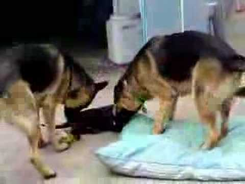 Chocolate Labrador Puppy chasing 2 German Shepherds Video