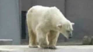 The polar bear dancing