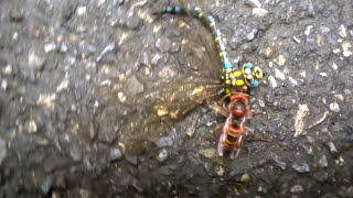 Dragonfly vs. Hornet battle 2