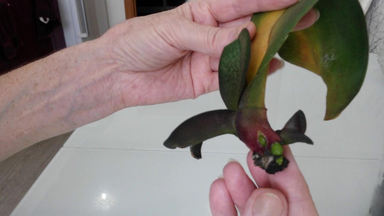 Орхидея в домашних условиях без корней 867