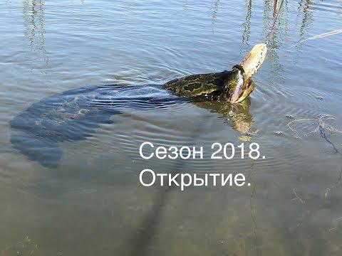 Змееголов. Открытие сезона 2018 года / Snakehead. Openning 2018th year season.