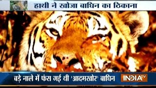 Man-Eater Tigress Killed By Locals In Uttarakhand's Ramnagar Area