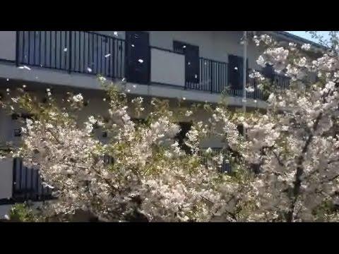 """Sakurafubuki"" (桜吹雪, cherry blossom blizzard), April 2014, Tokyo, Japan"