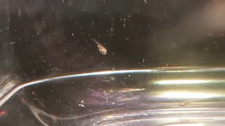 THE SERPAE AND DIAMOND TETRA FRY HAVE HATCHED OUT. AFTER BREEDING IN A PLASTIC BAG!!