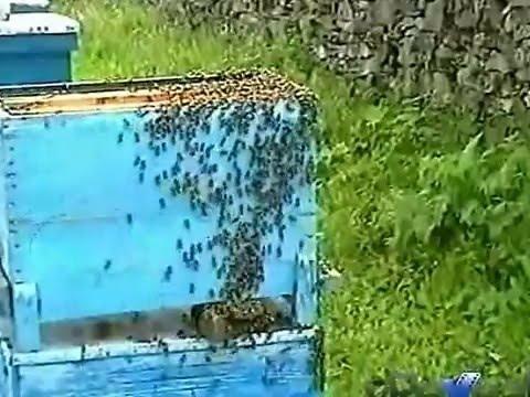 видео пчелы ловят