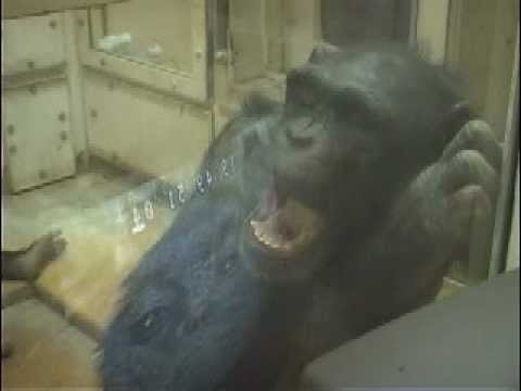 Contagious yawning in chimpanzees. Sup.