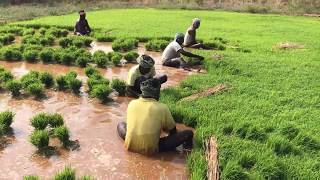 How Rice is Made : Step by Step Growing Rice Paddy Farming, South India