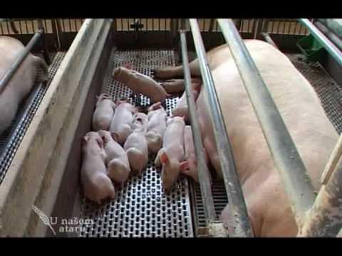 Poseta farmi svinja u Italiji - U nasem ataru 313.wmv