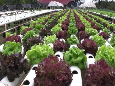 Hydroponic Farm Garden Vegetable Cultivation Crop Agricultural Technology stock footage