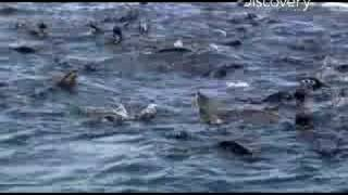 Sharkman - Luring Them In