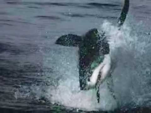Great White Sharks Video