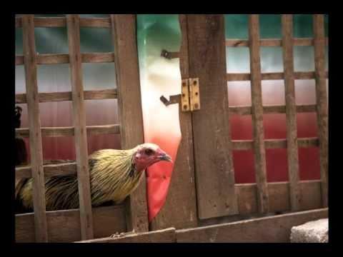 Peleas de Gallos en la Ciudad de México