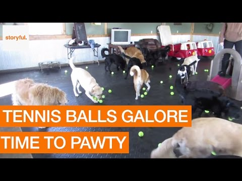 Tennis Balls Drop During Doggie Daycare Slumber Party (Storyful, Dogs)