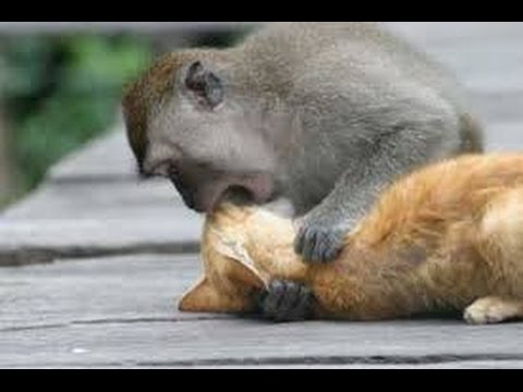 Monkey Have Sex With Cat video
