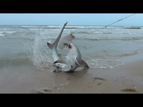 blacktip-shark-fishing-what-we-do-for-one-shark-44-hammer-head.html