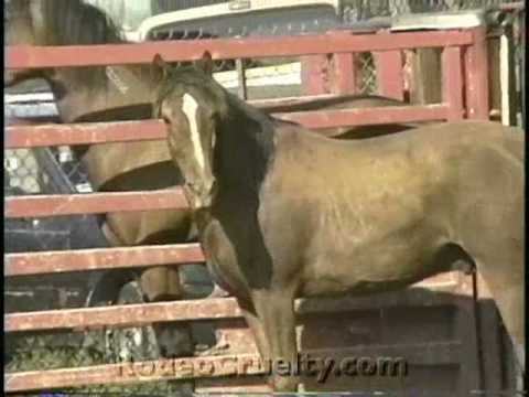 Mexican Rodeo Horse Tripping