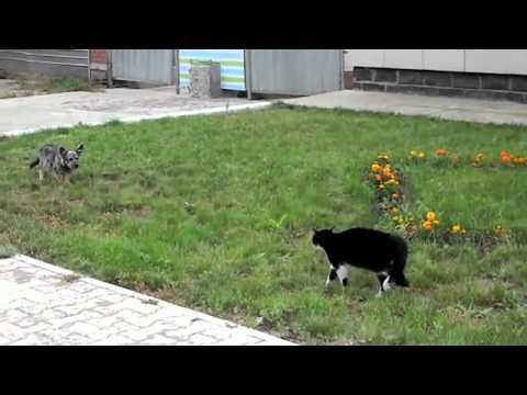 собака кота на дуэль вызывака