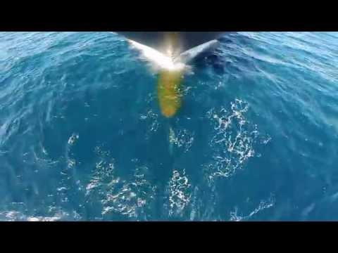 Dolphins at Azamara Journey Bow