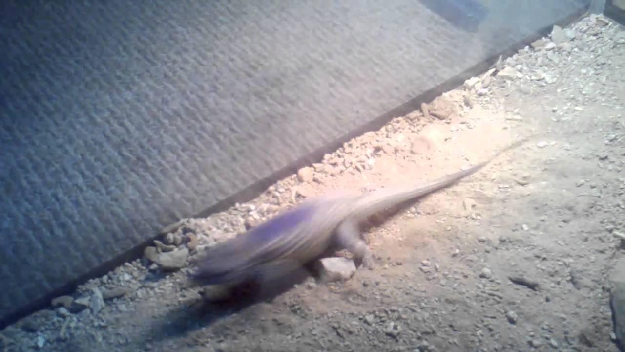 Lizards Eat Scorpions Spiny Lizard Eats Scorpion