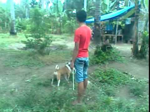 Babi VS Anjing ( MTR PADANG ) Part 3