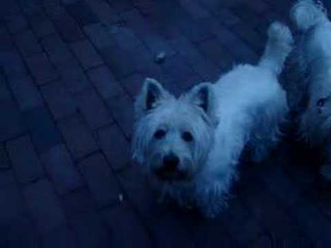 CUTE WEST HIGHLAND WHITE TERRIER DOGS!!!! ONE EVEN SINGS! :P Video