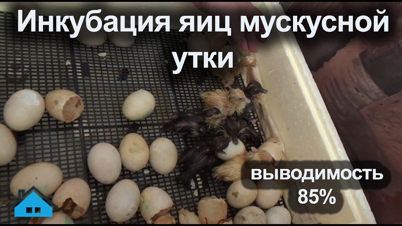Инкубация индоутиных яиц в домашних условиях