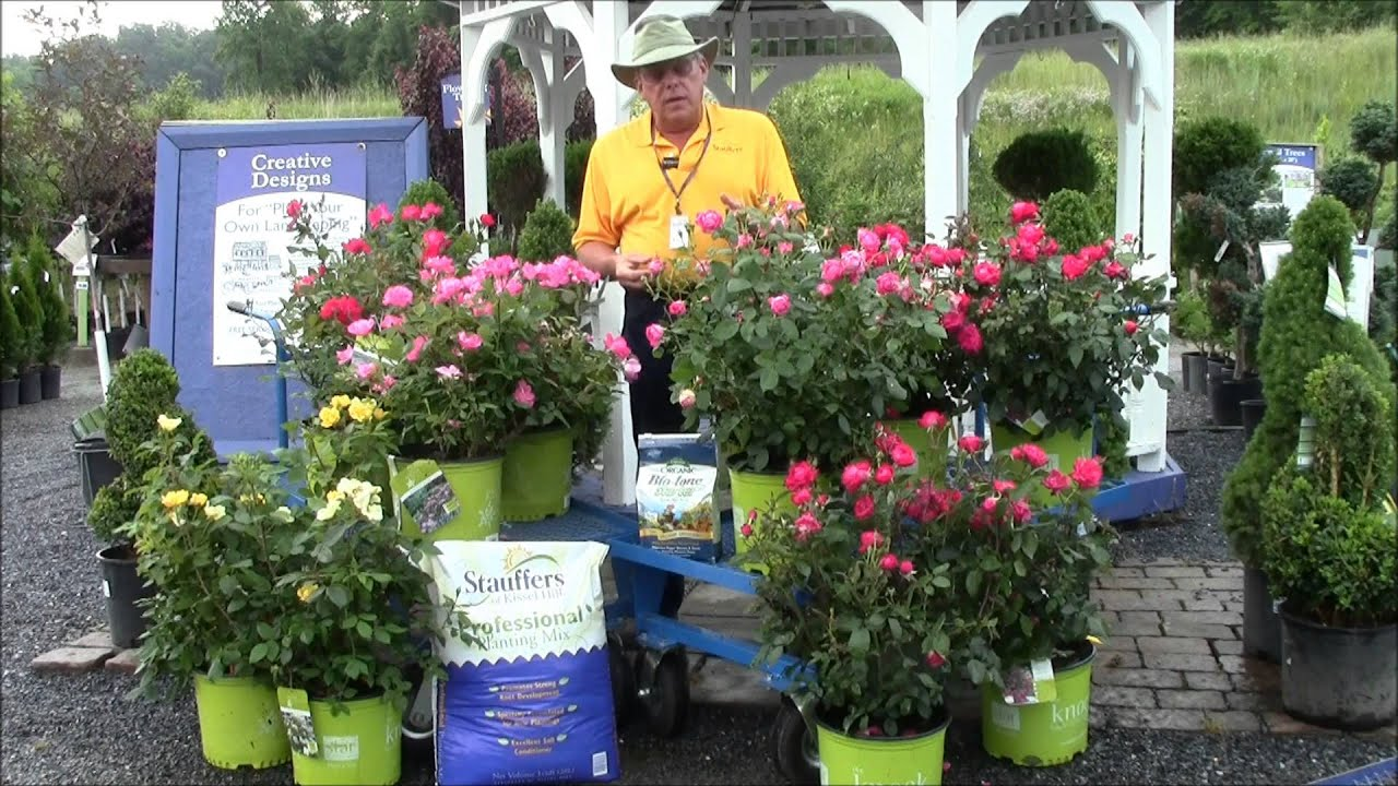 how to care for knock out roses with stauffers garden
