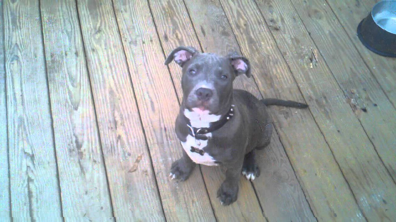 Blue nose pit bull 2 m... Xxl American Bully Puppies