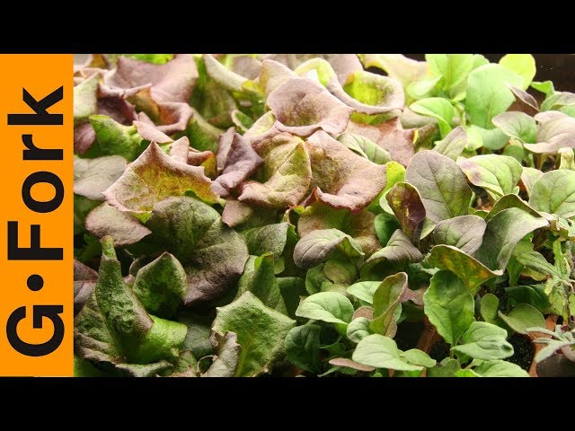 Grow Lettuce, Mesclun, & Salad Greens How To : GardenFork.TV #12