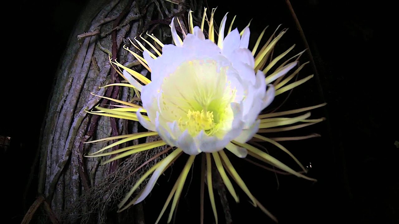 Night Blooming Cereus Flowers Clearwater Beach June 4