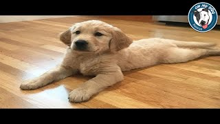 Best Of Cute Golden Retriever Puppies Compilation #18 - Funny Dogs 2018