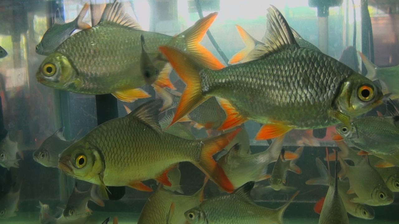 Tinfoil barb, Aquarium fish - YouTube