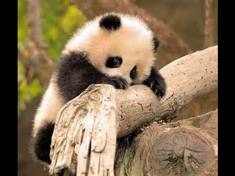 Cute Baby Panda Cubs Trying to a Climb Tree