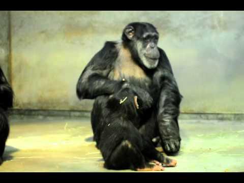 トンネルごっこで遊ぶチンパンジーの親子(いしかわ動物園)