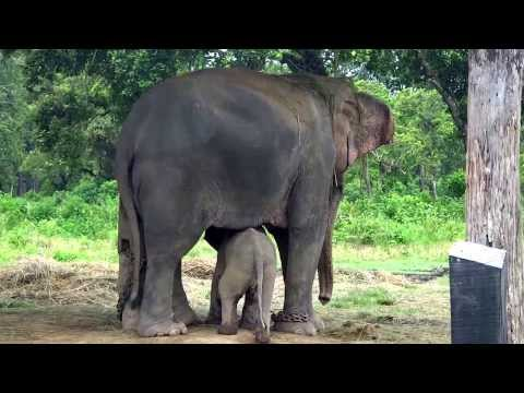 Cutest Baby Elephant Running to its Mom After Sensing Danger