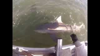 Bull Shark Fishing Broadwater - Gold Coast