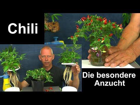 Chili Anzucht im Haus die Penischili in der Hydrokultur und Minichili in der Hydroponic Update