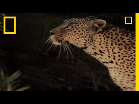 Killer Cats: Lives of Leopards