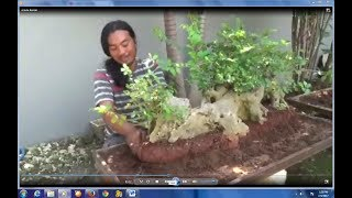 Peluang bisnis, budidaya bonsai beromzet puluhan juta rupiah